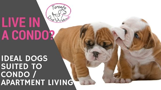 best dog breeds for condo apartment living toronto dog walking