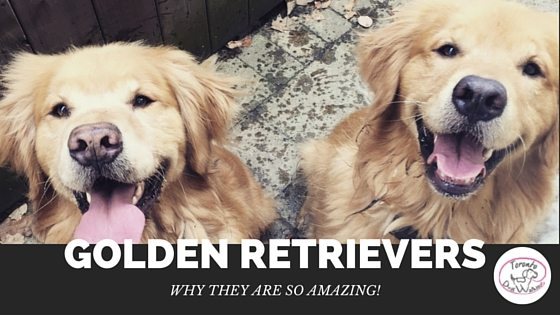 Golden Retrievers – Why They Are Amazing Dogs!
