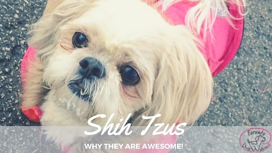 Shih Tzu – 10 Reasons They Are Amazing Dogs!