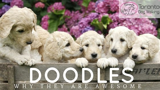 Why Doodles Are Awesome Dogs!