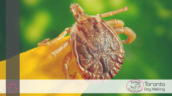 Ticks! How To Check, Remove & Remedy Your Dog For Ticks!