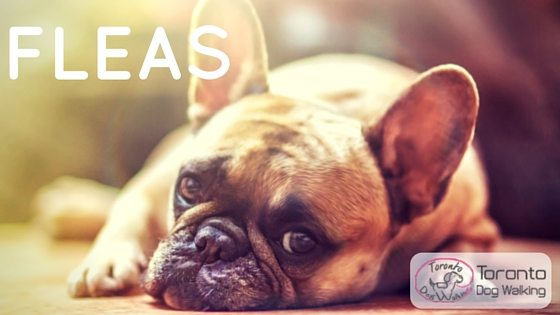 Fleas! What Are Fleas, Does My Dog Have Fleas, How To Get Rid Of Fleas?