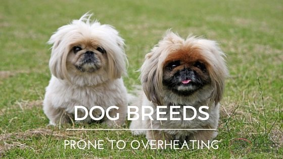 Dog Breeds Prone to Overheating
