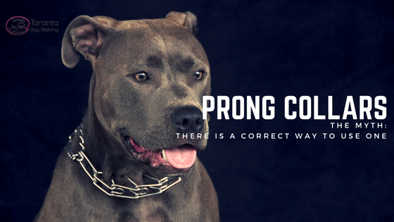 Prong Collars | The Myth That There Is A Proper Way To Use One