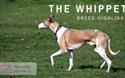 Breed Highlight | The Whippet