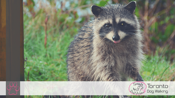 The Dangers of Raccoon Urine and Feces for your Dog