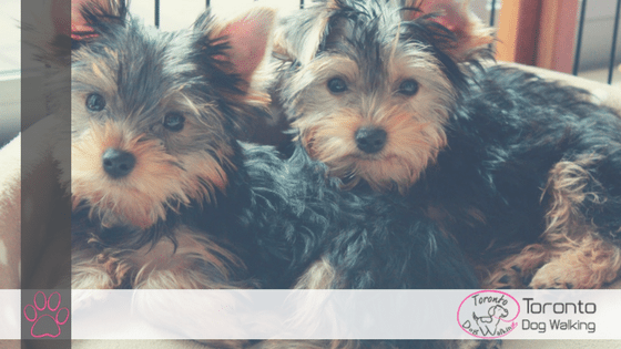 Yorkshire Terriers | All You Need to Know About the Breed!