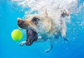 dog fetching toy underwater